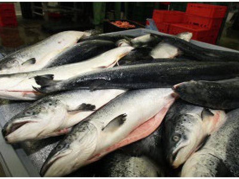 ВДагестане достигнуты рекордные показатели развития рыбной ветви
