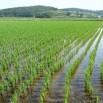 Рисовые поля.jpeg