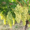 Уборка винограда.jpg